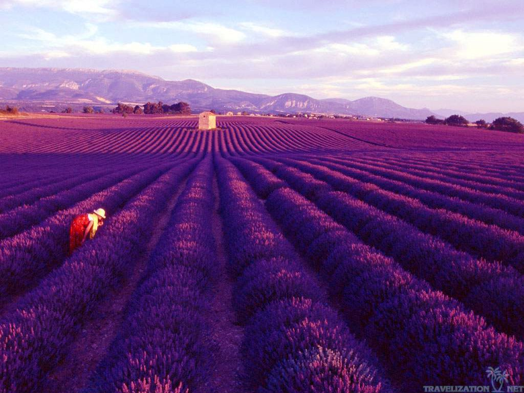lavender-fields-provence-wallpapers-1024x768