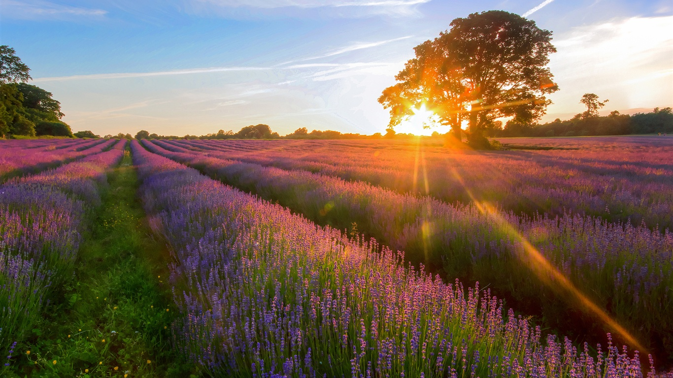 lavender-garden-of-the-sunset-jpg-486494
