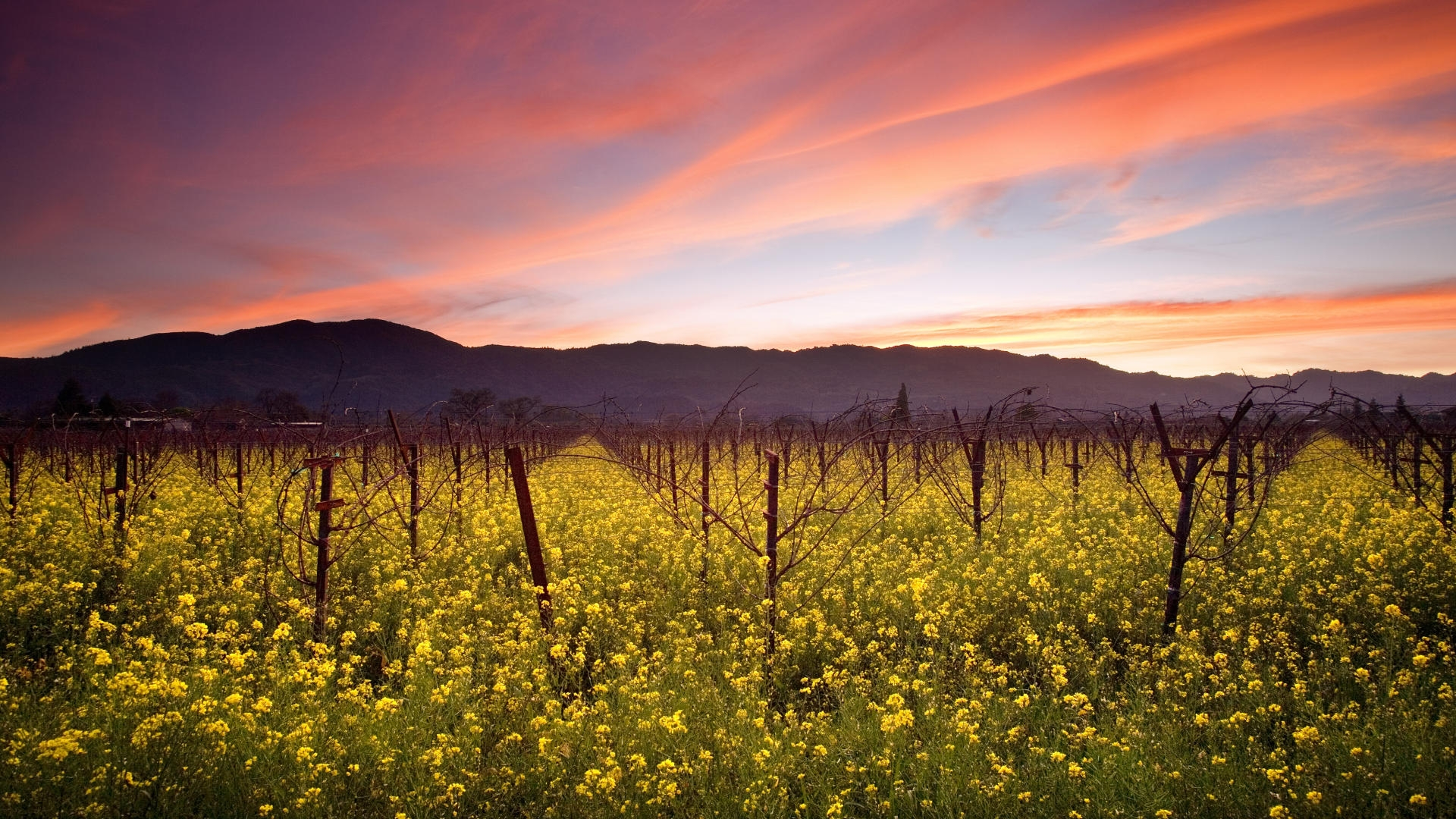 sunset-and-wild-mustard-napa-valley-vineyards-california-wallpaper-for-1920x1080-hdtv-1080p-15-21