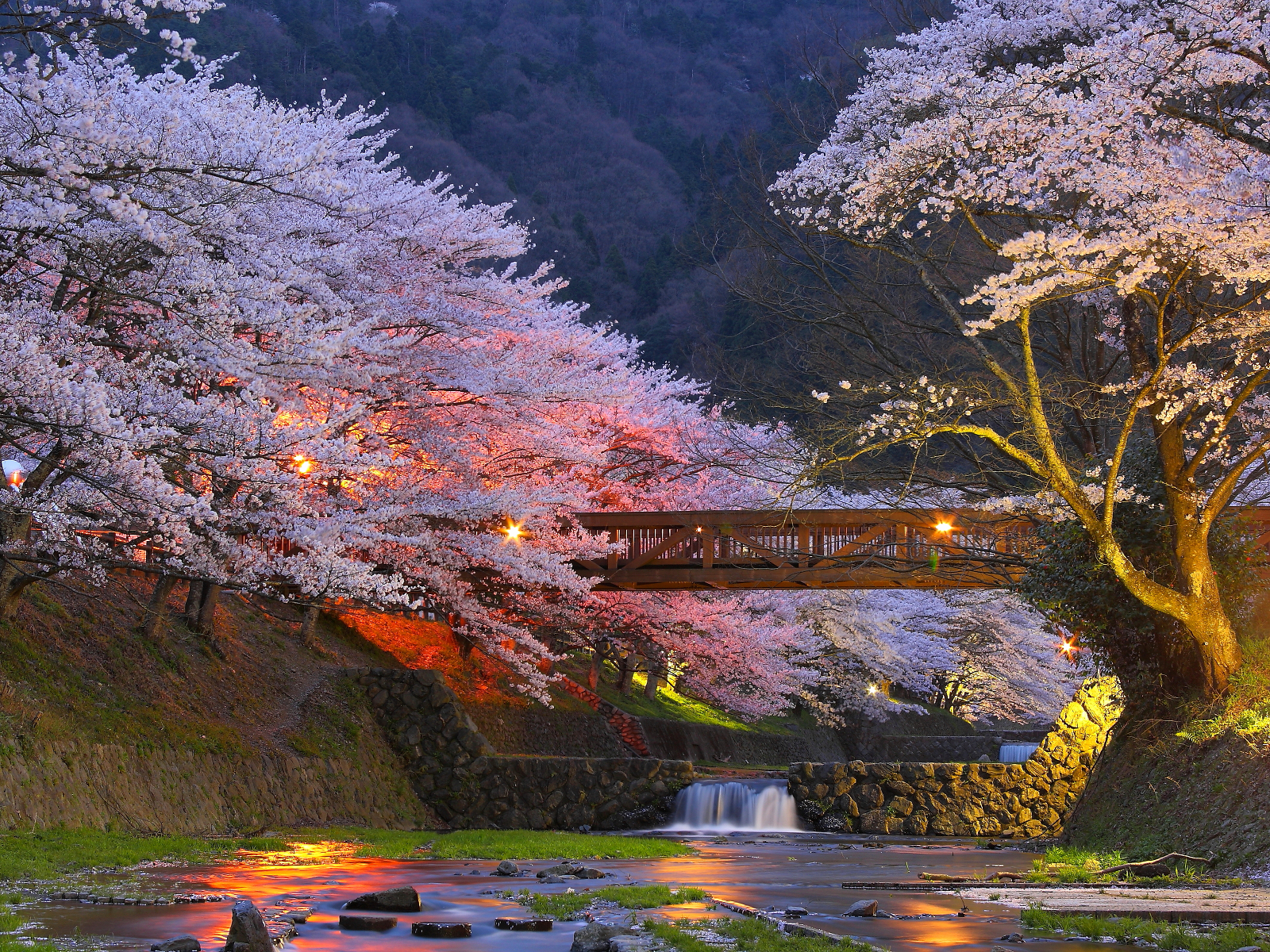 cherry-blossoms-sakura-tree-cat-trees-near-kyoto-japan-pics-3404512